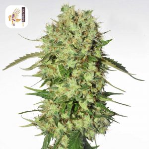 Cannabis Light seeds